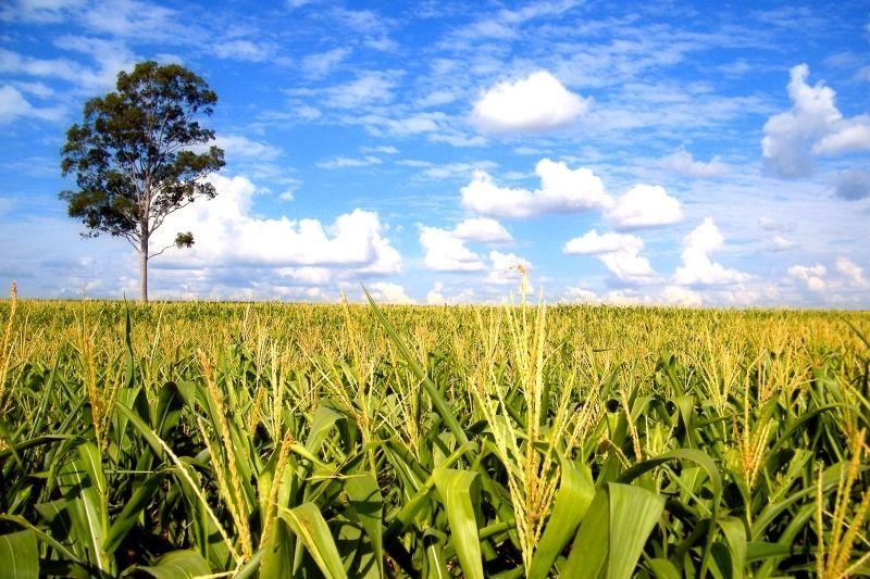 alimentos transgénicos, los modificados genéticamente