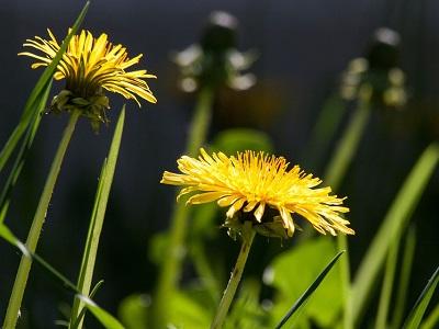 mejores plantas depurativas